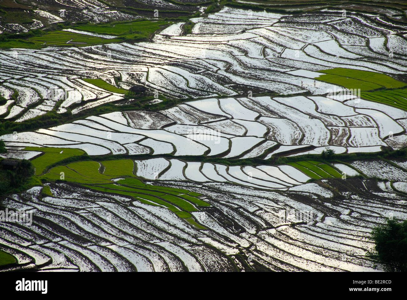 Rice, rice cultivation, rice terraces on a slope filled with water at Ou Tai, Gnot Ou district, Yot Ou, Phongsali, - Stock Image