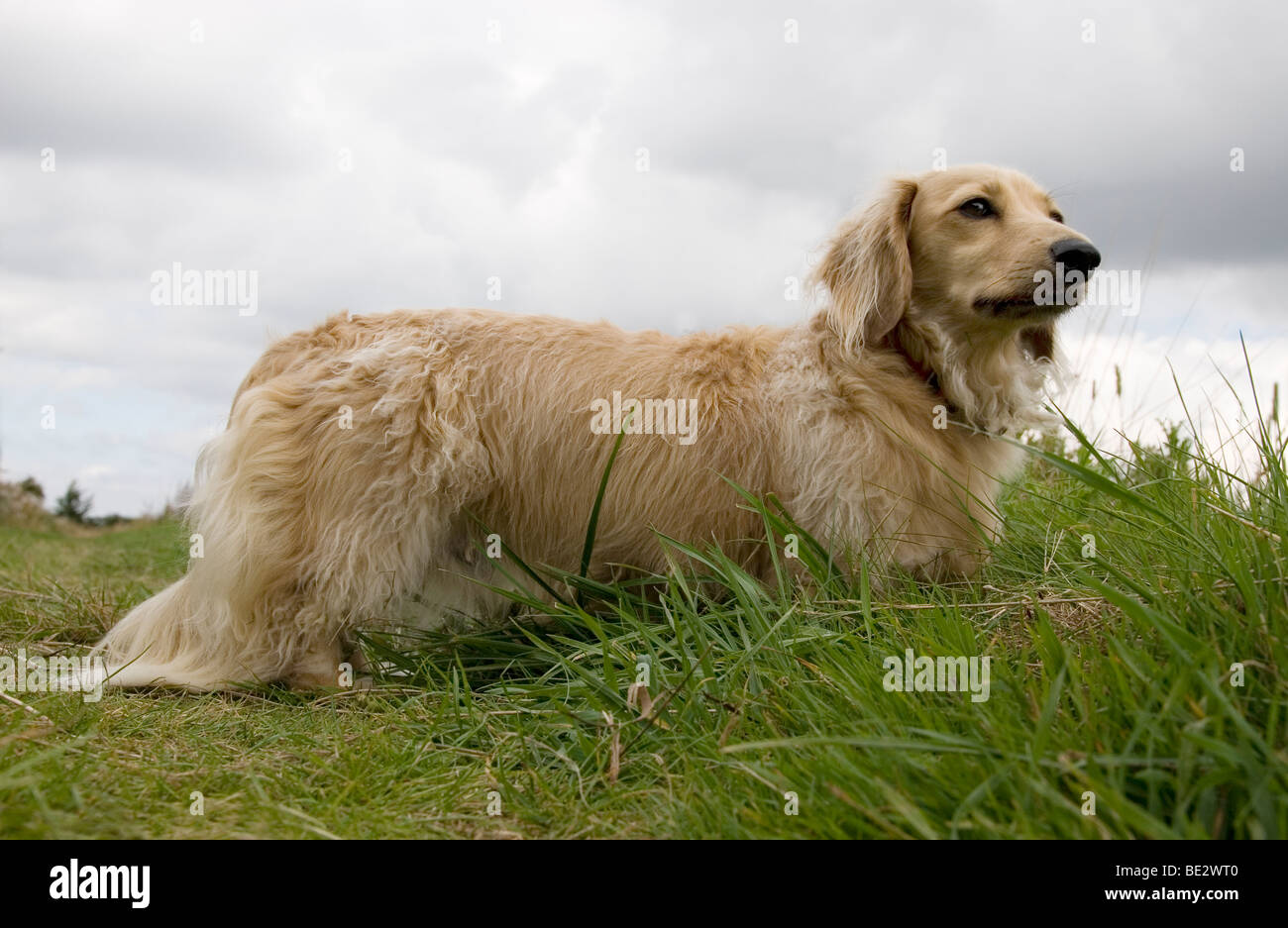 fawn coloured long haired Daschund outdoors - Stock Image