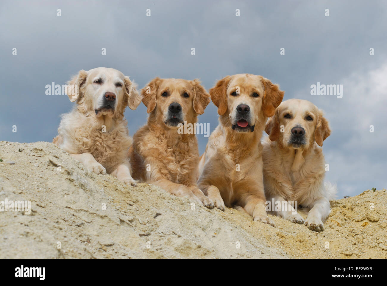 Four Golden Retrievers lying in the sand - Stock Image