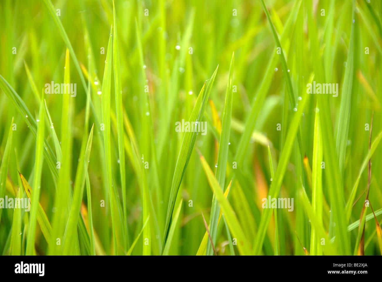 Rice, rice blades, stalks, Yuanyang, in Xinji, Yunnan Province, People's Republic of China, Asia - Stock Image