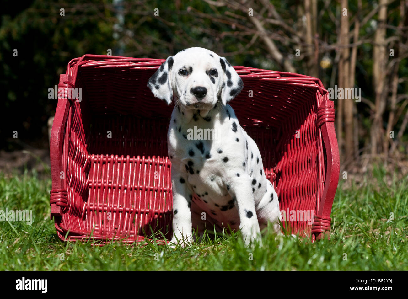 Dalmatian puppy sitting in front of a wicker basket - Stock Image