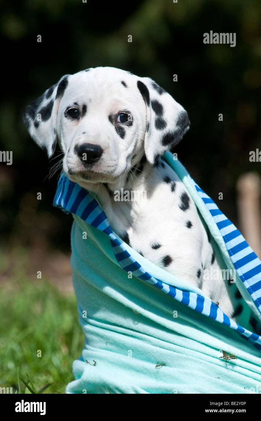 Dalmatian puppy wrapped in blanket - Stock Image