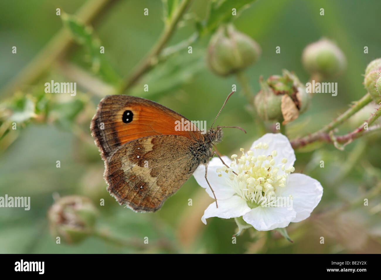 Rust brown Meadow Brown (Maniola tithonus) butterfly - Stock Image