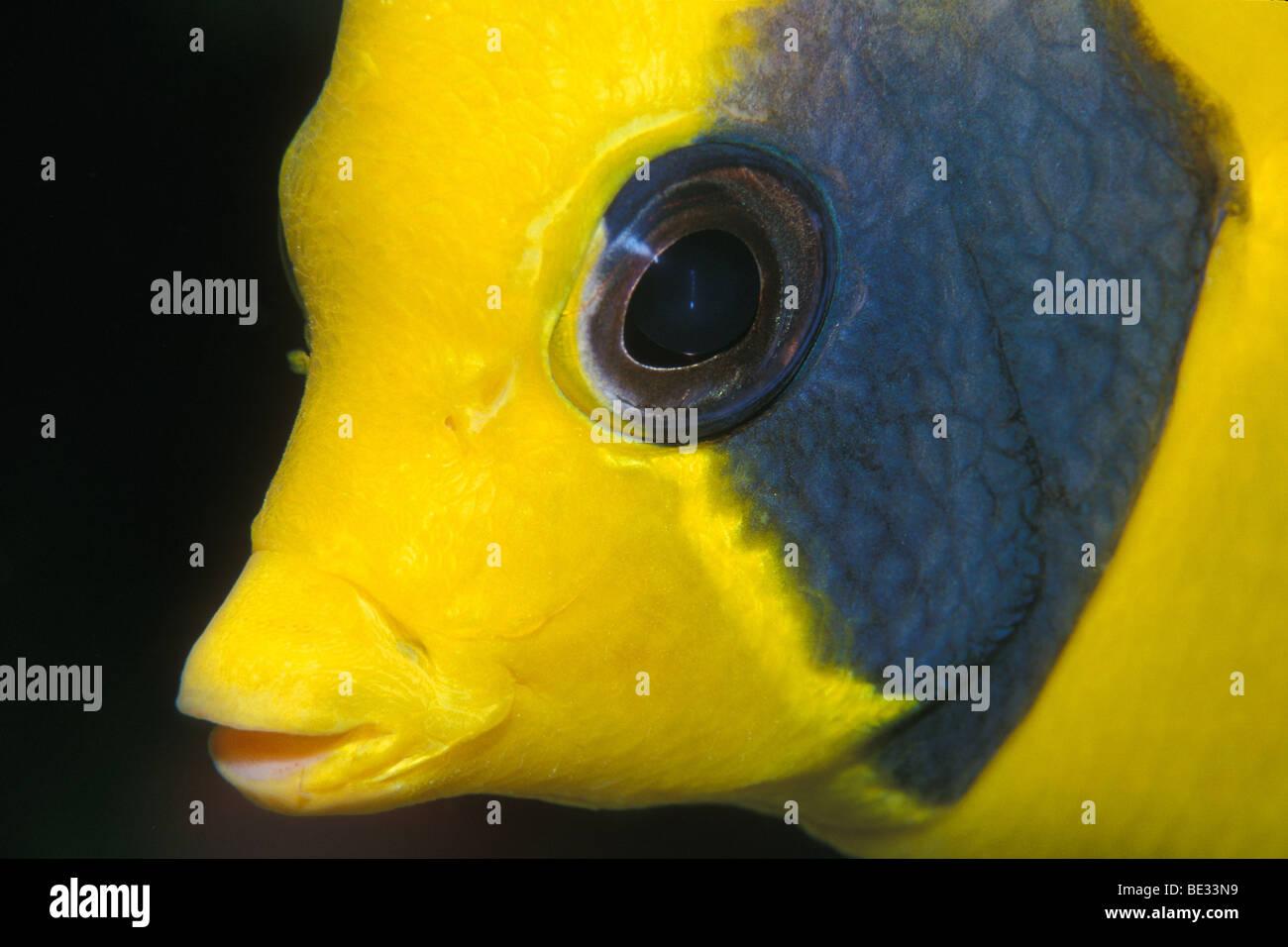 Masked Butterflyfish, Chaetodon semilavatus, Nuweiba, Sinai, Red Sea, Egypt - Stock Image