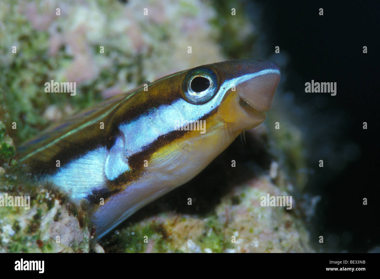 Bluestriped Fangblenny, Plagiotremus rhinorhynchus, Nuweiba, Sinai, Red Sea, Egypt Stock Photo