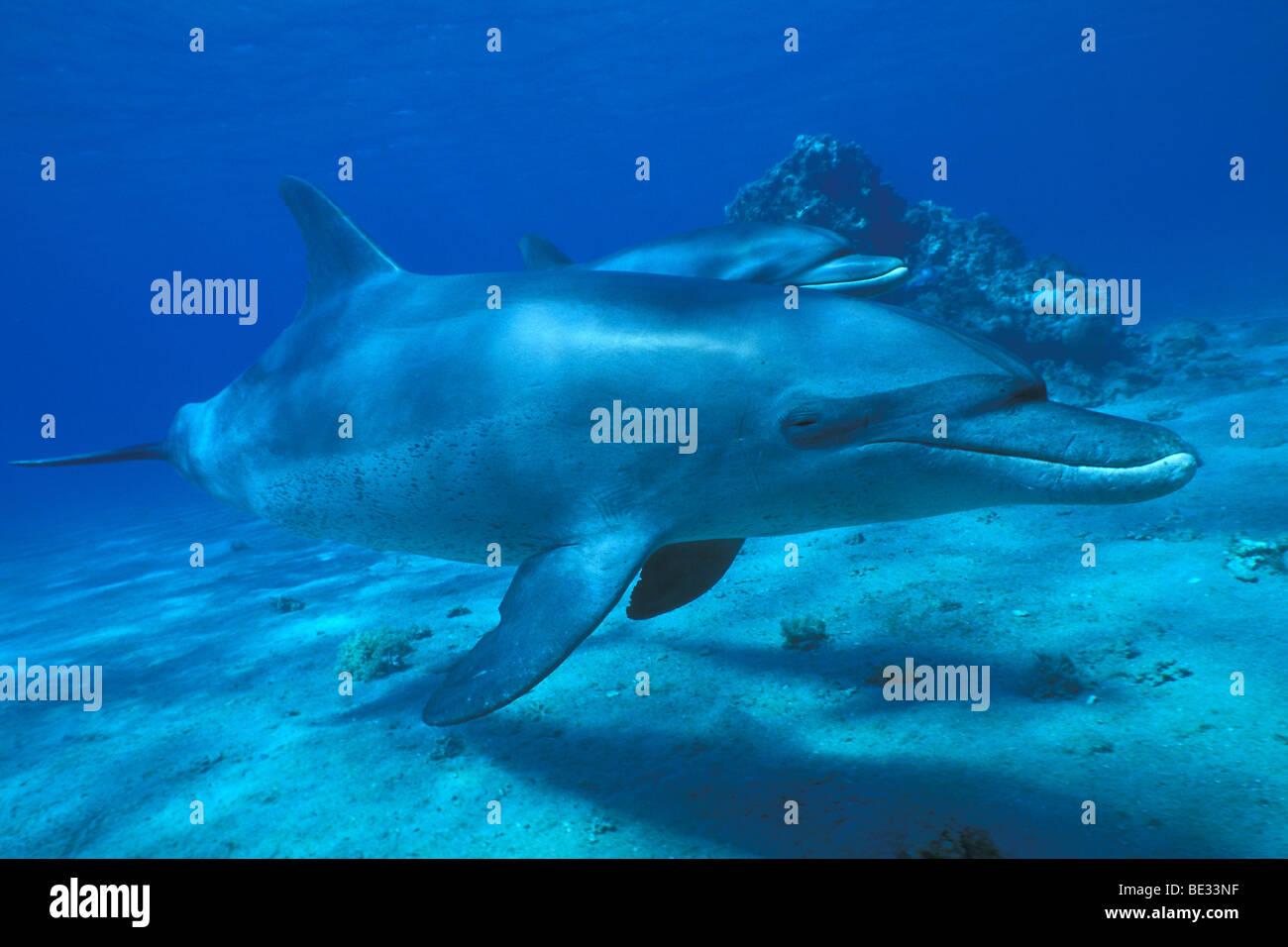 Bottlenose Dolphins, Tursiops truncatus, Nuweiba, Sinai, Red Sea, Egypt - Stock Image
