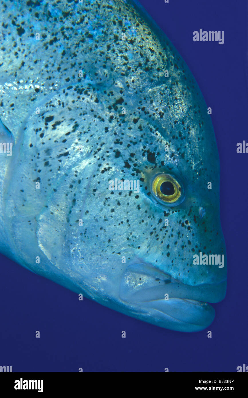 Bluefin Travelly, Caranx melampygus, Nuweiba, Sinai, Red Sea, Egypt - Stock Image