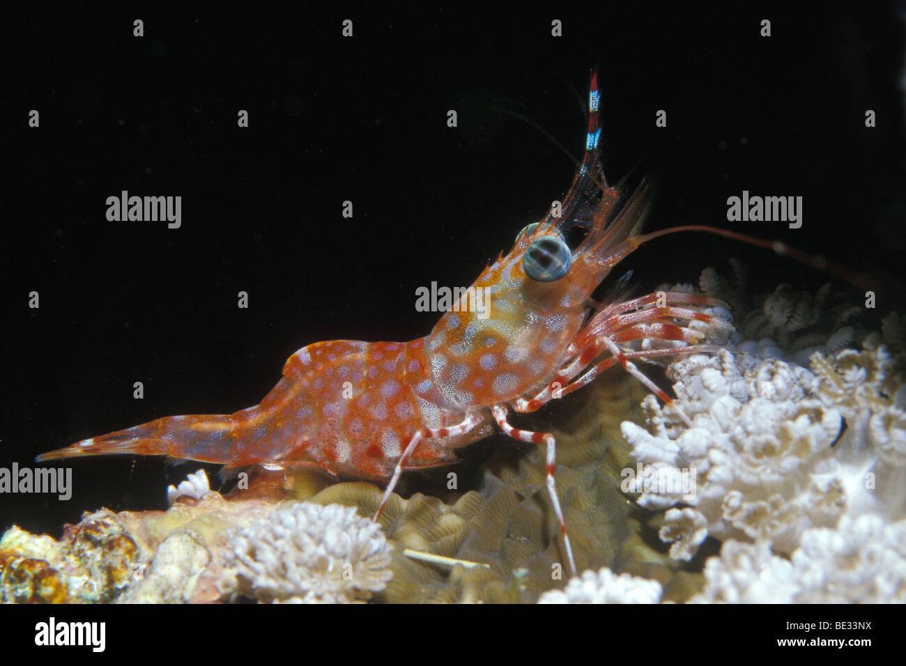 Dancing Shrimp, Cinetorhynchus reticulatus, Nuweiba, Sinai, Red Sea, Egypt - Stock Image