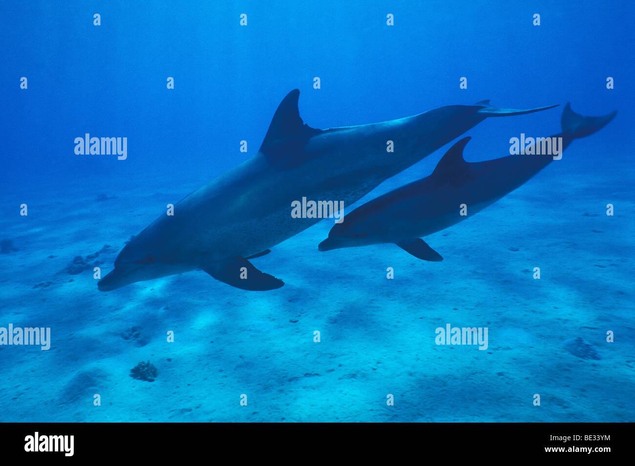 Bottlenose Dolphins, Tursiops truncatus, Nuweiba, Sinai, Red Sea, Egypt Stock Photo