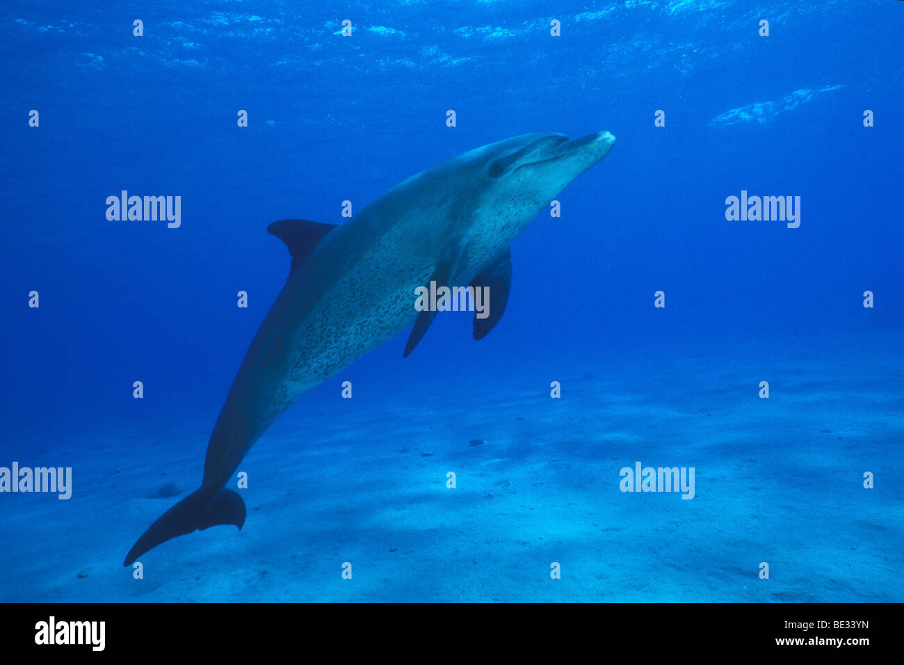Bottlenose Dolphin, Tursiops truncatus, Nuweiba, Sinai, Red Sea, Egypt - Stock Image