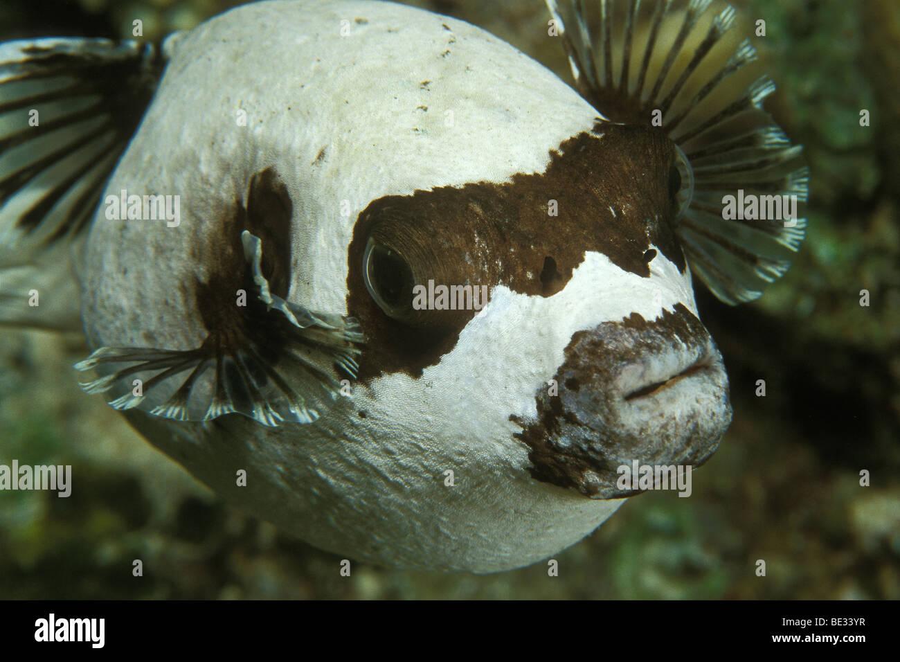 Masked Puffer, Arothron diadematus, Sharm el Sheikh, Sinai, Red Sea, Egypt Stock Photo