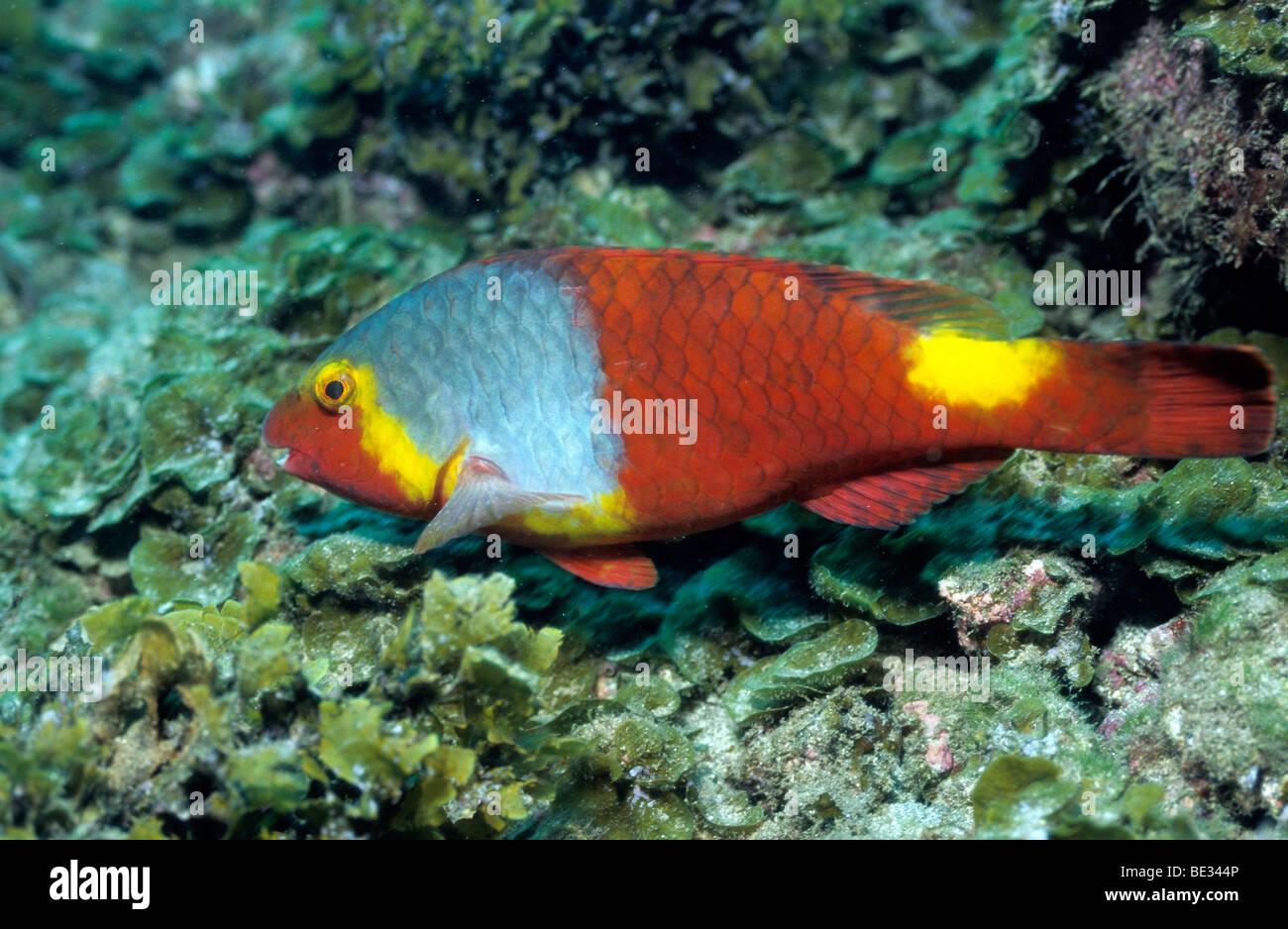European Parrotfish, Sparisoma cretense, La Gomera, Canary Islands ...