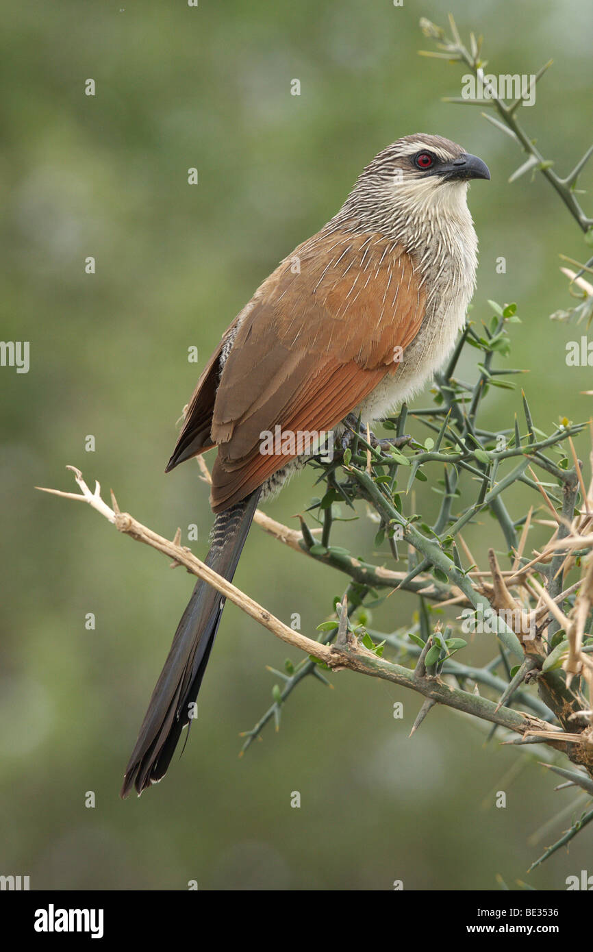 White-browed Coucal (Centropus superciliosus), Tarangire National Park, Tanzania, Africa - Stock Image