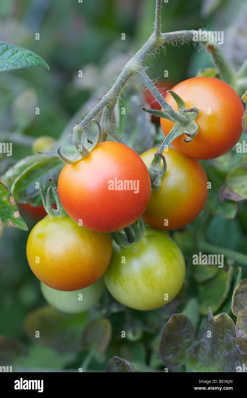 Tomatoes on the vine in various stages of maturity - Stock Image