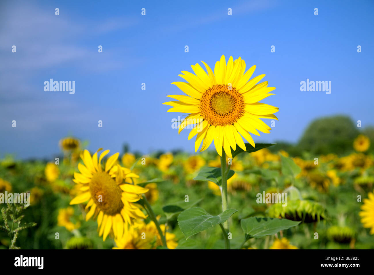 One sunflower in a field against a blue sky - Stock Image