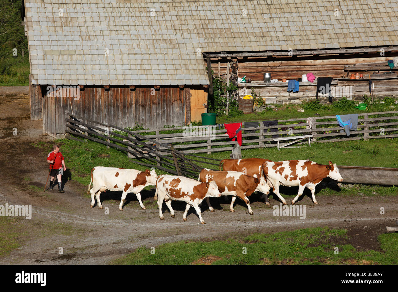 Cows being sent to pasture, farm in Huettwinkltal, Rauris valley, Pinzgau, federal state of Salzburg, Austria, Europe - Stock Image