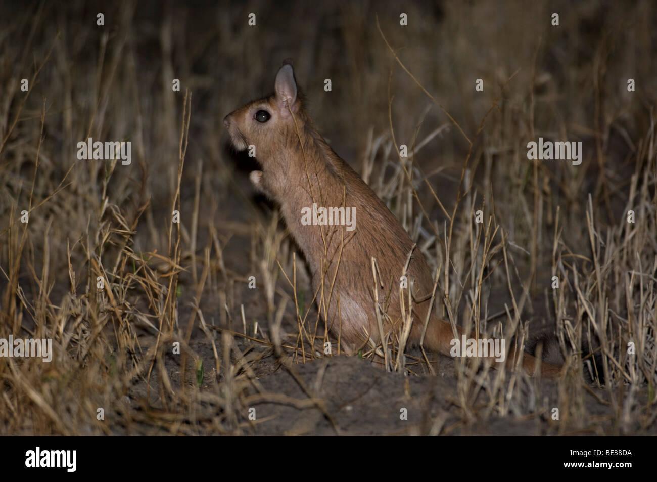 Springhare (Pedetes capensis), Central Kalahari, Botswana - Stock Image