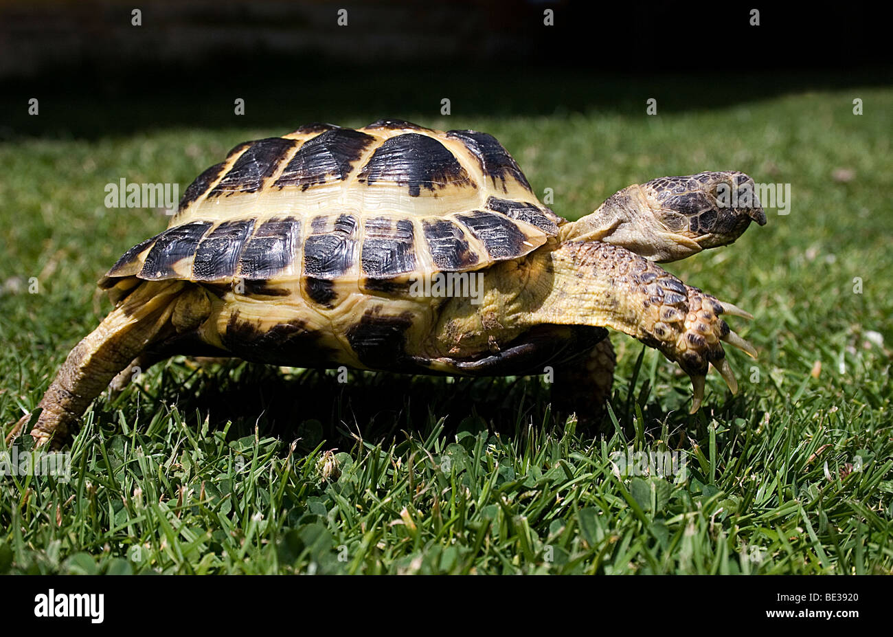 small tortoise crawling in grass - Stock Image