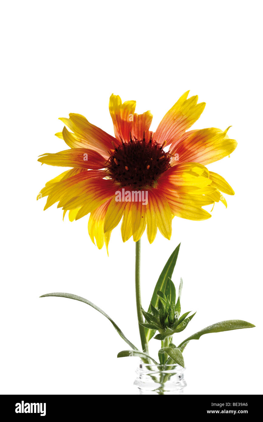 Gaillardia or Blanket flowers Stock Photo