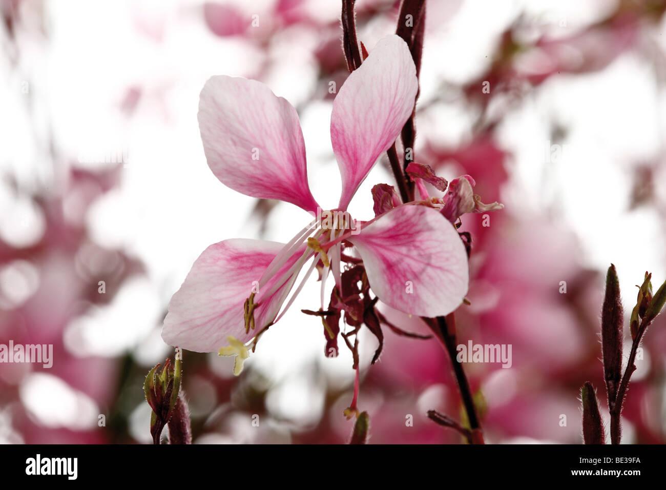 Gaura blossoms - Stock Image