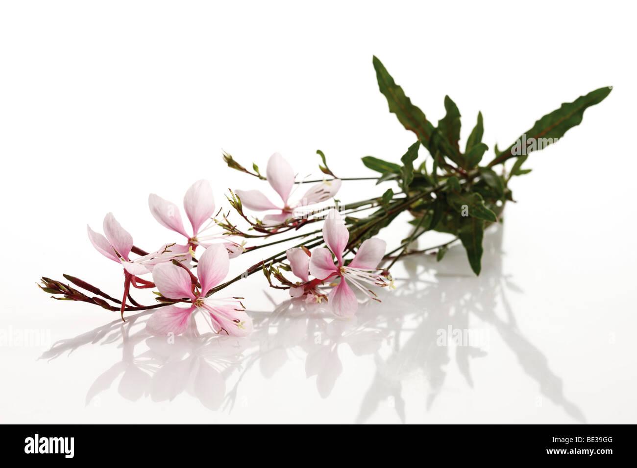 Gaura blossoms Stock Photo