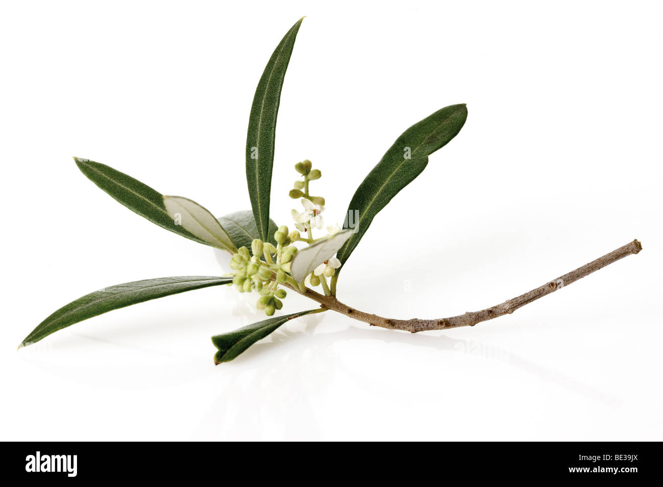 Branch of olive flowers Stock Photo