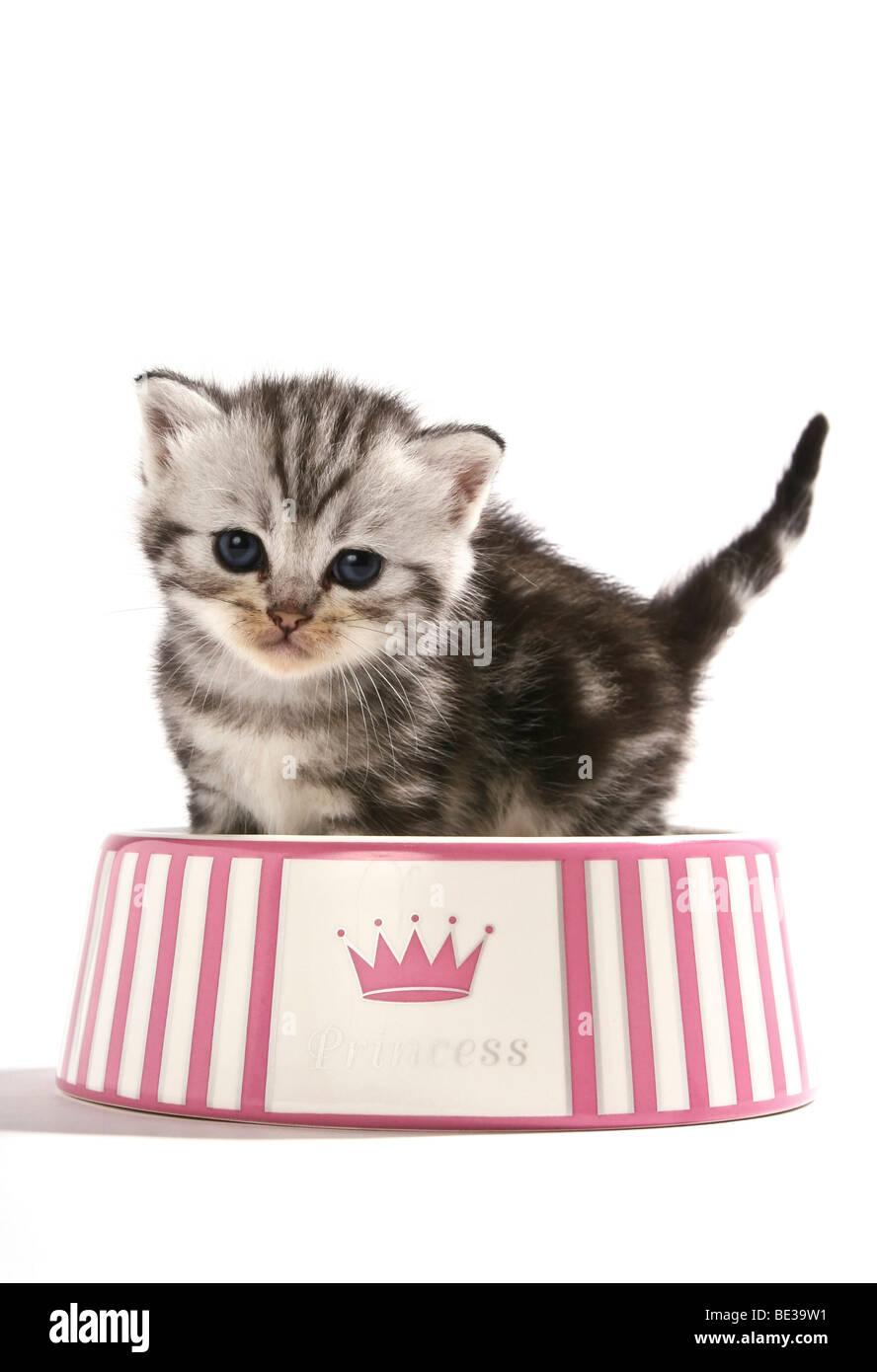 British Shorthair kitten in a feeding dish - Stock Image