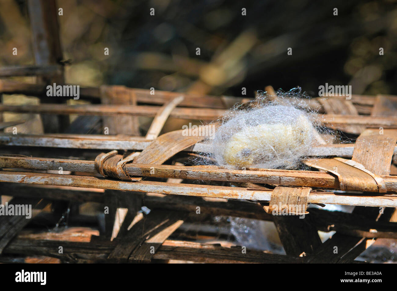 A silkworm (Bombyx mori) spins itself into a cocoon, sericulture, silk farming, Dalat capital, Central Highlands, - Stock Image