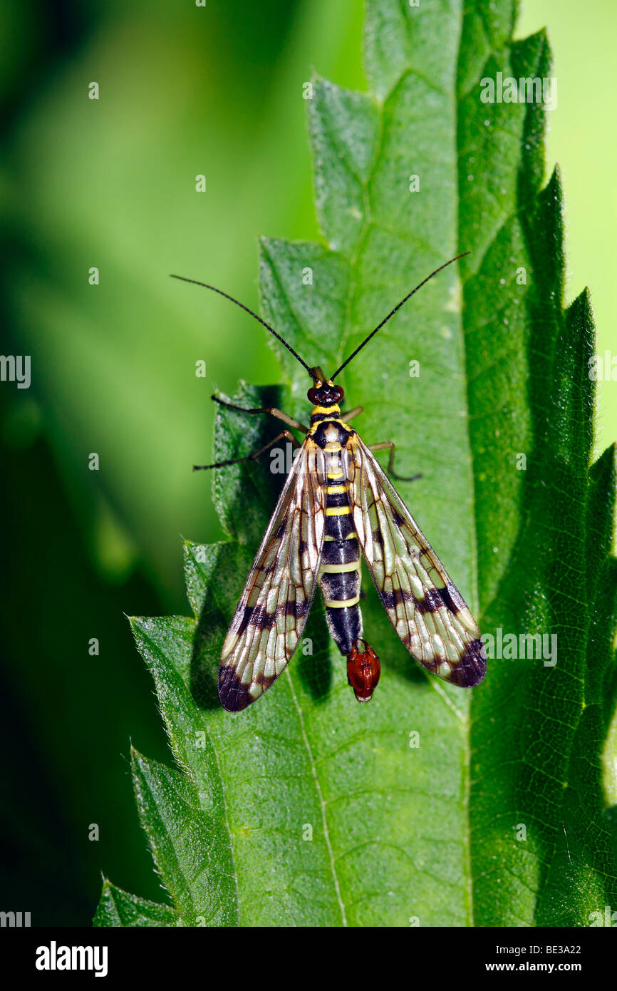 Male Common Scorpionfly (Panorpa communis) on leaf of a stinging-nettle Stock Photo
