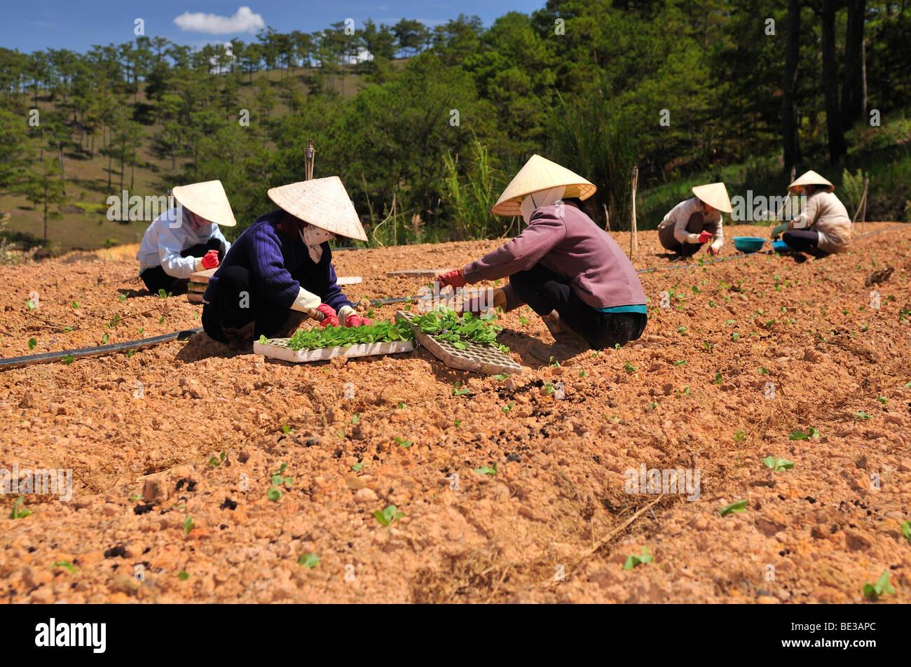 Planting salad, several women planting seedlings, field work, Dalat, Central Highlands, Vietnam, Asia - Stock Image
