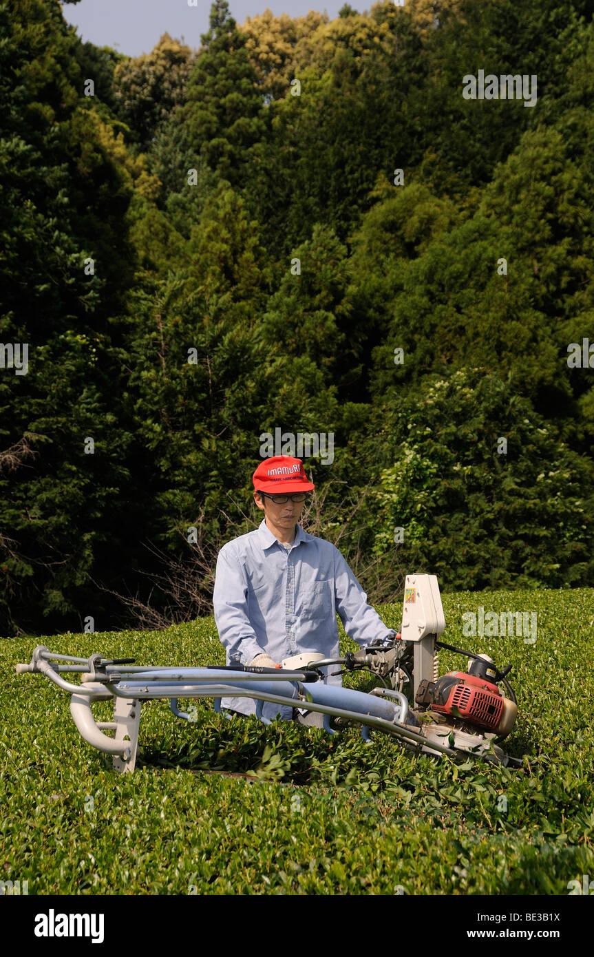 Tee farmers cutting the bushes back to normal working height, Sagara, Shizuoka Prefecture, Japan, Asia - Stock Image