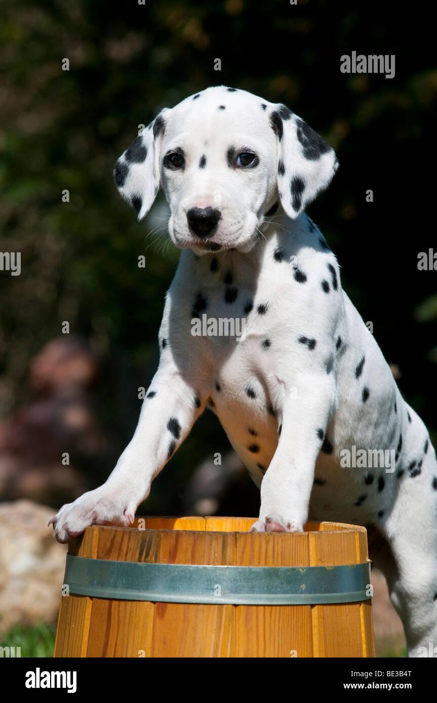 Dalmatian puppy climbing onto wooden barrel - Stock Image