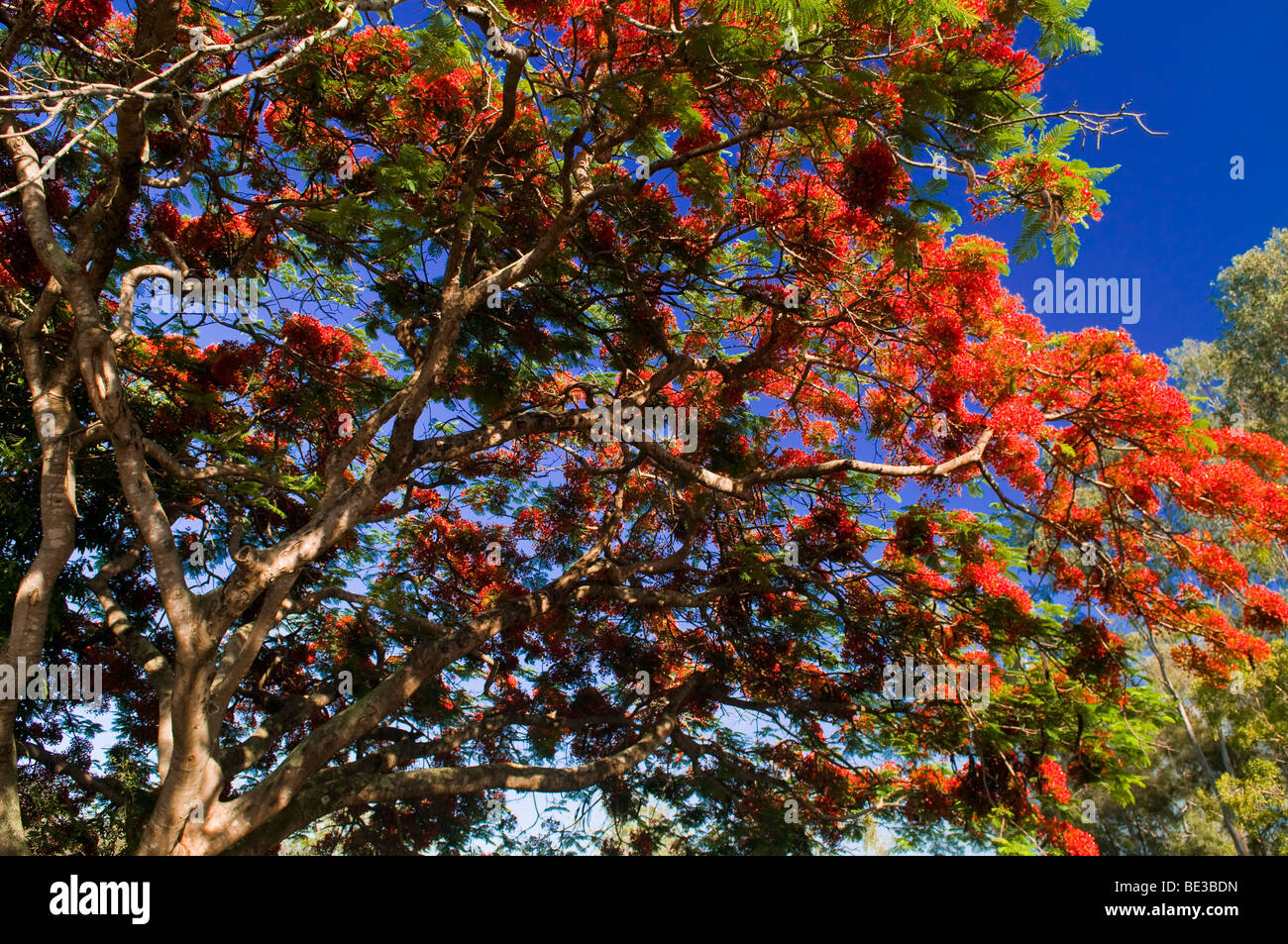 Royal Poinciana tree in full bloom, Fairfield, Queensland, Australia - Stock Image