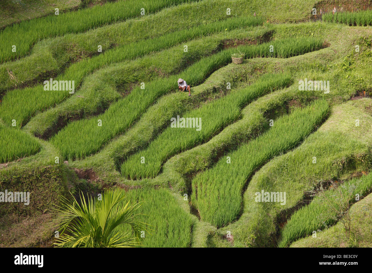 Paddy fields near Tegal Lalang, Bali, Republic of Indonesia, Southeast Asia - Stock Image