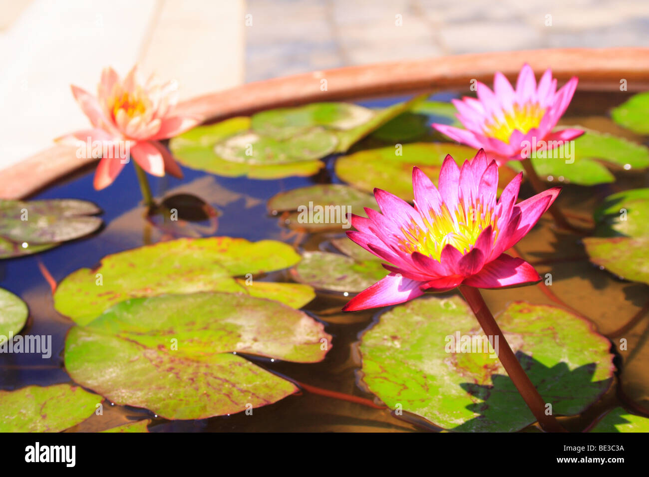 Lotus flowers, Bogyeongsa, Republic of Korea Stock Photo