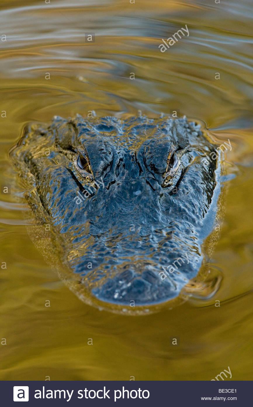 American Alligator, St. Augustine, Florida - Stock Image