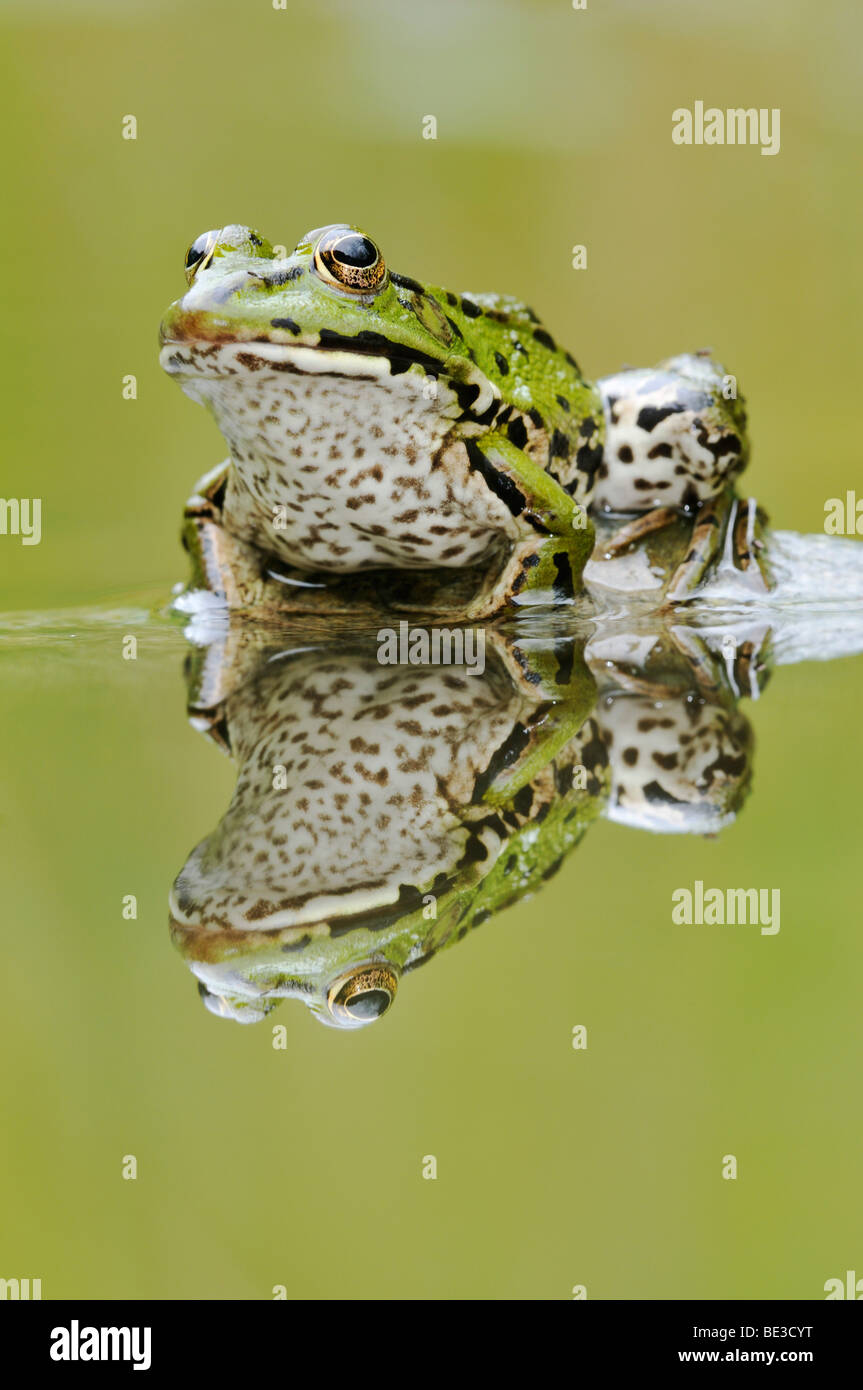 Water Frog (Rana esculenta, Pelophylax kl. Esculentus) with reflection - Stock Image