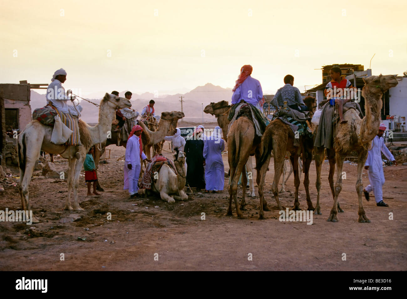 Camel Riders, Bedouins, Egyptians, camels, in the evening, Dahab, Sinai, Egypt, Africa - Stock Image