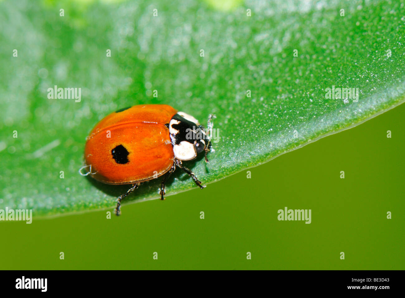 Two-spotted Lady Beetle (Adalia bipunctata) - Stock Image