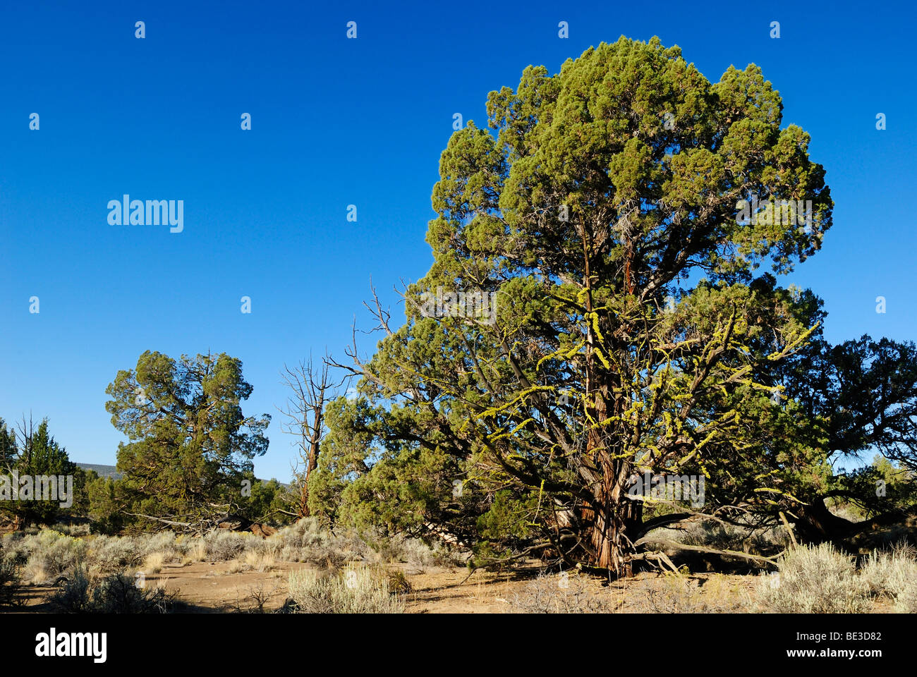 1000 Jahre alter Wacholder Baum, Western Juniper in den Lavafeldern des Ancient Juniper Trail, Badlands Wilderness - Stock Image