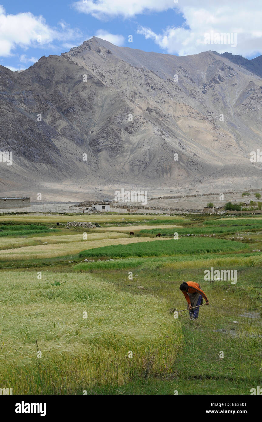 Ladakhi woman controlling the watering of a barley field, about 4000 AMSL, oasis economy in mountainous desert, - Stock Image