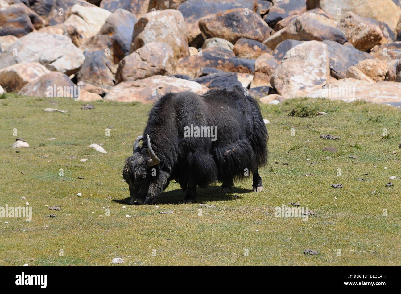 Yak (Bos mutus) 4500 AMSL, at the Khardongla pass, Leh, Ladakh, India, Himalayas, Asia - Stock Image