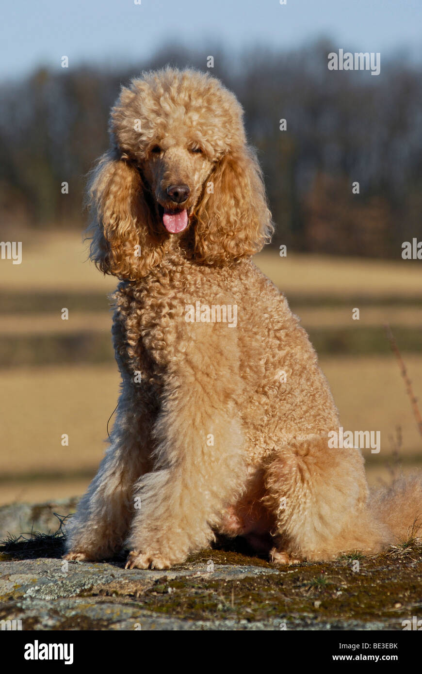 Sitting Large Poodle Giant Poodle Stock Photo 25892711 Alamy