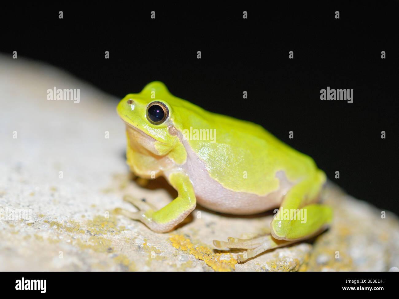 Croaking European tree frog (Hyla arborea) - Stock Image