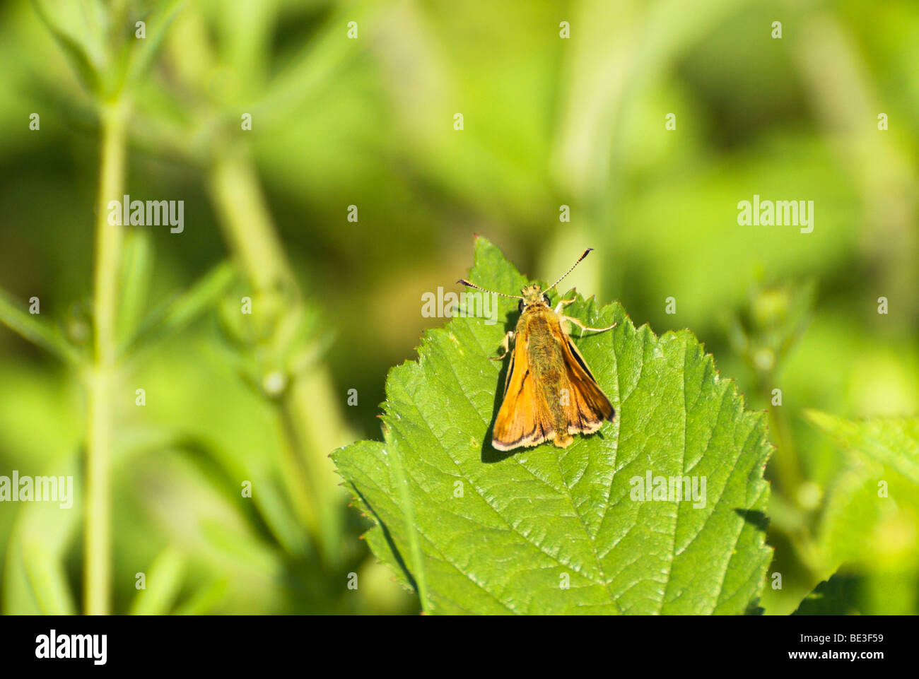 Large Skipper (Ochlodes venata) Butterfly. - Stock Image