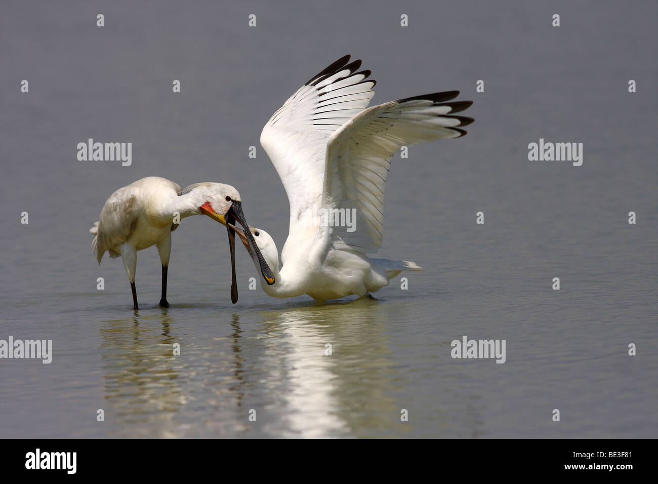 Junger spoonbill (Platalea leucorodia), is fed by an adult bird for food Stock Photo