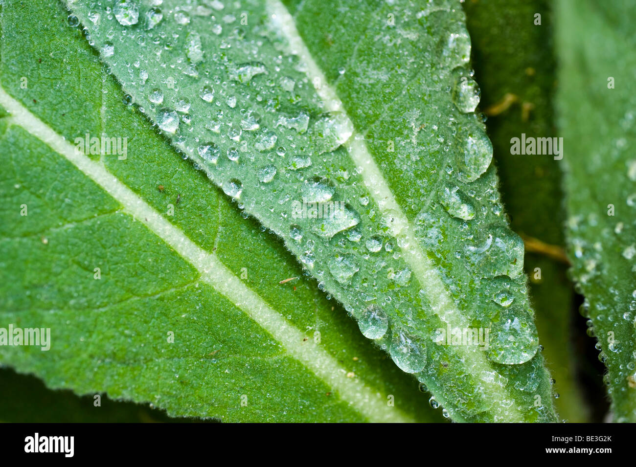 Mullein (Verbascum), leaf covered with water drops Stock Photo