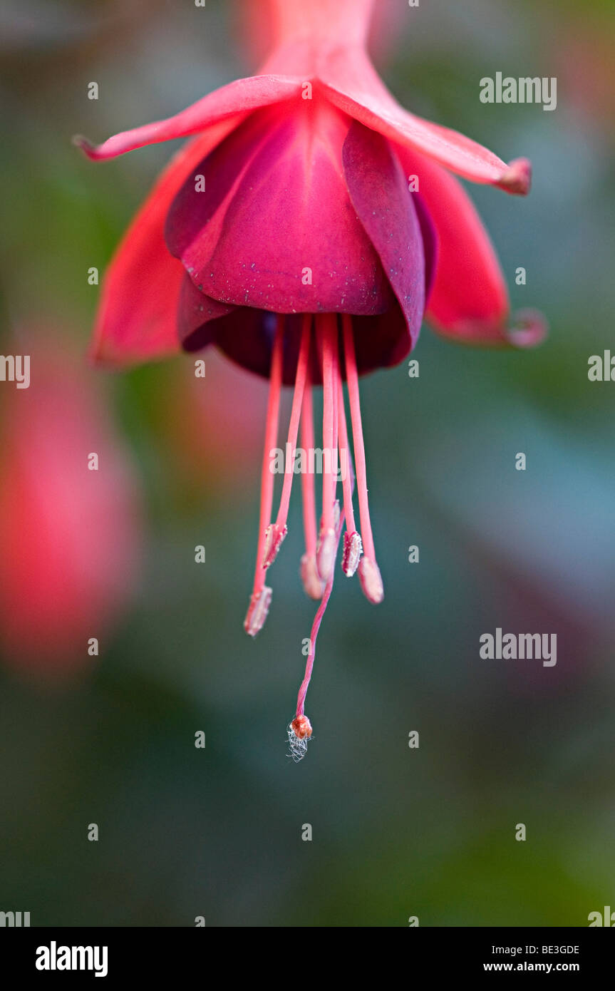 fuchsia red flower hanging in a garden in the uk Stock Photo