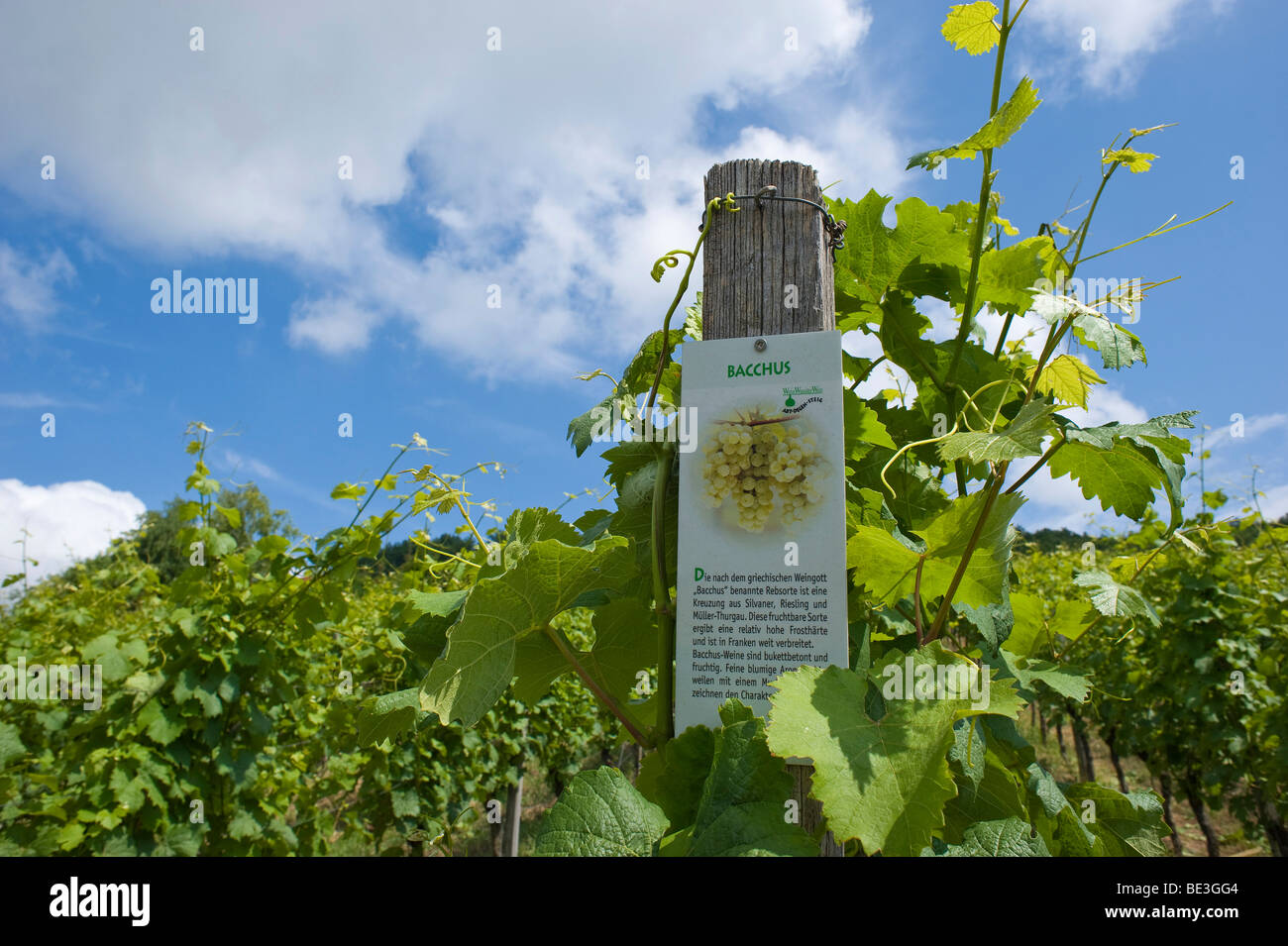 Panel, 'Bacchus' on a row of grapevines, Abt-Degen-Steig, Hassberg district, Lower Franconia, Bavaria, Germany, - Stock Image