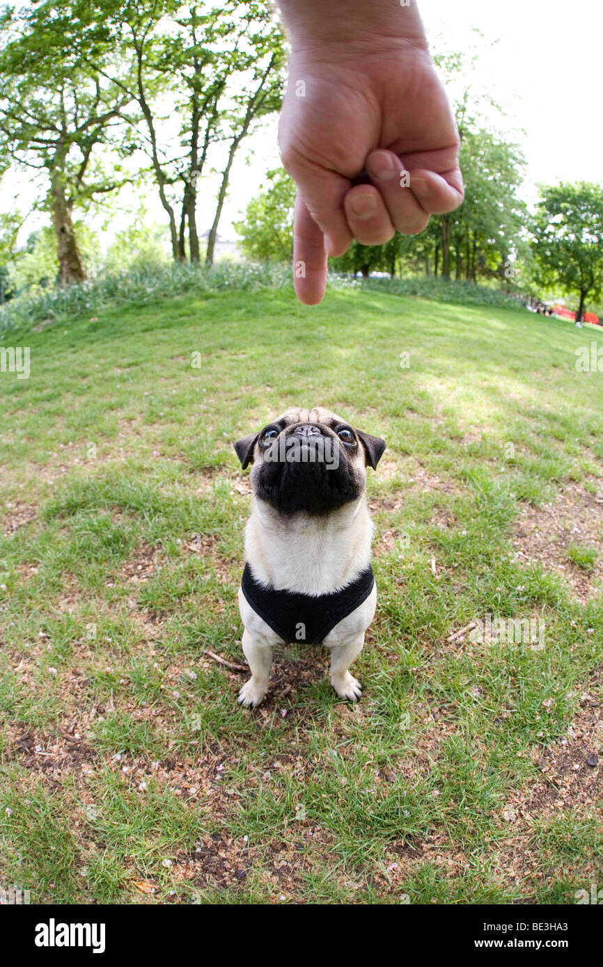 A young pug obeying a hand signal to sit, fisheye shot - Stock Image